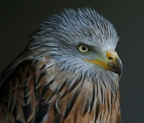 512px-red_kite_milvus_milvus_11by-ken-billington