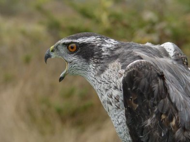northern-goshawk-by-helmut-mueller